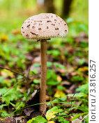 Купить «Ядовитая поганка в лесу», эксклюзивное фото № 3816257, снято 31 августа 2012 г. (c) Игорь Низов / Фотобанк Лори