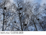 Купить «Стая ворон на берёзе», фото № 3818069, снято 1 апреля 2012 г. (c) Култыгина Татьяна / Фотобанк Лори