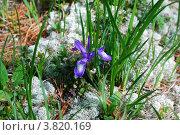 Купить «Ирис русский (Iris ruthenica) в траве», фото № 3820169, снято 9 июля 2009 г. (c) Анна Омельченко / Фотобанк Лори
