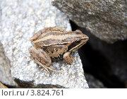 Остромордая лягушка. Rana arvalis. Стоковое фото, фотограф Дудакова / Фотобанк Лори