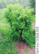 Дерево. Стоковое фото, фотограф Марина Алешина / Фотобанк Лори