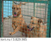 Купить «Беспородные собаки в вольере приюта для бездомных животных», фото № 3829985, снято 7 сентября 2012 г. (c) Елена Мусатова / Фотобанк Лори