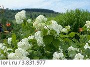 Белая гортензия крупным планом. Стоковое фото, фотограф Масюк Светлана / Фотобанк Лори