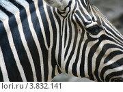 Голова зебры. Стоковое фото, фотограф Марат Сафаров / Фотобанк Лори