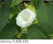 Белый цветок вьюнка (Ipomoea) Стоковое фото, фотограф Роман Петрушин / Фотобанк Лори