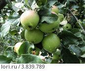 Четыре зеленых яблока на ветке. Стоковое фото, фотограф Роман Петрушин / Фотобанк Лори