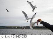 Чайки едят рыбу с руки на лету. Стоковое фото, фотограф Денис Гоппен / Фотобанк Лори