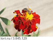 Оса на цветке. Стоковое фото, фотограф Ворошилова Анна / Фотобанк Лори