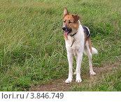 Собака в поле ждет хозяина. Стоковое фото, фотограф Елена Мусатова / Фотобанк Лори
