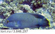 Купить «Рыба наполеон», фото № 3848297, снято 12 июля 2011 г. (c) Савко Вадим Геннадиевич / Фотобанк Лори