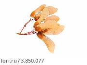 Купить «Сухие семена клена на белом фоне крупным планом», фото № 3850077, снято 19 октября 2011 г. (c) Анна Гучек / Фотобанк Лори