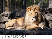 Купить «Африканский лев», фото № 3854437, снято 8 сентября 2012 г. (c) Matwey / Фотобанк Лори