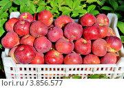 Купить «Спелые, яркие, красные яблоки сорта Спартан из мичуринских садов», фото № 3856577, снято 19 сентября 2012 г. (c) Дядченко Ольга / Фотобанк Лори