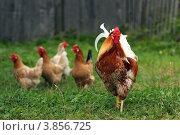 Купить «Петух и куры на лужайке на фоне серого дощатого забора», фото № 3856725, снято 9 августа 2012 г. (c) Olya&Tyoma / Фотобанк Лори
