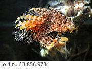 Купить «Рыбы крылатки», фото № 3856973, снято 19 июля 2012 г. (c) Михаил Коханчиков / Фотобанк Лори