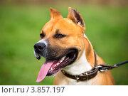 Купить «Собака породы стаффордширский терьер на фоне зеленого луга», фото № 3857197, снято 22 сентября 2012 г. (c) Николай Винокуров / Фотобанк Лори