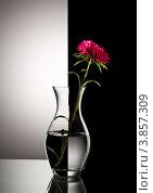 Купить «Красная астра в вазе на черном и белом фоне», фото № 3857309, снято 20 сентября 2012 г. (c) Кравецкий Геннадий / Фотобанк Лори