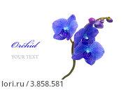 Синяя орхидея. Стоковое фото, фотограф Olha Ukhal / Фотобанк Лори