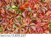 Купить «Фон. Девичий виноград пятилисточковый (Parthenocissus quinquefolia)», эксклюзивное фото № 3859237, снято 21 сентября 2012 г. (c) Александр Алексеев / Фотобанк Лори
