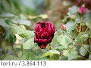 "Роза, сорт ""Astrid Graffin von Hardenberg"" Стоковое фото, фотограф Светлана Алпатова / Фотобанк Лори"