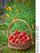 Купить «Корзина с клубникой на фоне клумбы», фото № 3871157, снято 2 июля 2012 г. (c) Ольга Денисова / Фотобанк Лори