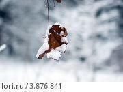 Одинокий старый сухой кленовый лист под снегом на зимнем размытом фоне. Стоковое фото, фотограф Елена Круглова / Фотобанк Лори