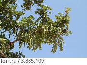Купить «Рожковое дерево (Ceratonia siliqua)», фото № 3885109, снято 6 июня 2012 г. (c) Хименков Николай / Фотобанк Лори