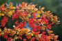 Ветка с ягодами барбариса, фото № 3888237, снято 5 сентября 2012 г. (c) Наталья Волкова / Фотобанк Лори