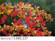 Купить «Ветка с ягодами барбариса», фото № 3888237, снято 5 сентября 2012 г. (c) Наталья Волкова / Фотобанк Лори