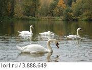 Белые лебеди. Стоковое фото, фотограф Нина М / Фотобанк Лори