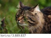 Купить «Сибирский кот», фото № 3889837, снято 11 августа 2012 г. (c) Olya&Tyoma / Фотобанк Лори