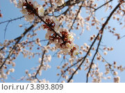 Цветущие абрикосы на фоне неба. Стоковое фото, фотограф Бугаенко Татьяна / Фотобанк Лори