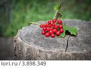 Калина. Стоковое фото, фотограф Дмитрий Ворона / Фотобанк Лори