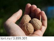 Грецкие орехи в руке. Стоковое фото, фотограф Дмитрий Ворона / Фотобанк Лори