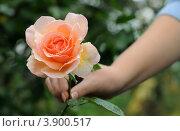 Роза в женской руке. Стоковое фото, фотограф Юрий Морозов / Фотобанк Лори