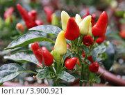 Купить «Выращивание горького перца», фото № 3900921, снято 2 октября 2012 г. (c) Irina Opachevsky / Фотобанк Лори