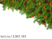 Еловые ветви с шишками и ягодами на белом фоне. Стоковое фото, фотограф Сергей Фигурный / Фотобанк Лори
