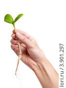 Зеленый росток в мужской руке. Стоковое фото, фотограф Сергей Фигурный / Фотобанк Лори