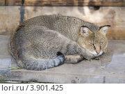 Купить «Кот камышовый», эксклюзивное фото № 3901425, снято 4 октября 2012 г. (c) Шичкина Антонина / Фотобанк Лори