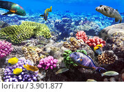 Купить «Рыбы и кораллы в Красном море, Египет», фото № 3901877, снято 3 сентября 2012 г. (c) Vitas / Фотобанк Лори
