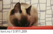 Купить «Сиамская кошка ест корм из миски», видеоролик № 3911209, снято 26 сентября 2012 г. (c) Коваль Василий / Фотобанк Лори