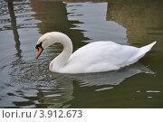 Белый лебедь. Стоковое фото, фотограф Ольга Першина / Фотобанк Лори