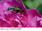 Навозный жук крупным планом на бутоне пиона. Стоковое фото, фотограф Александра / Фотобанк Лори