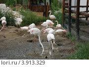Венгрия. Будапешт. Зоопарк. Фламинго (2011 год). Стоковое фото, фотограф Елена Соломонова / Фотобанк Лори
