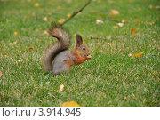 Белка с орешком. Стоковое фото, фотограф Александр Аникеев / Фотобанк Лори