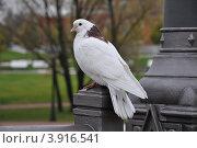 Белый голубь. Стоковое фото, фотограф Александр Аникеев / Фотобанк Лори