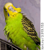Попугай. Стоковое фото, фотограф Анастасия Колганова / Фотобанк Лори