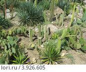 Кактусовый сад. Стоковое фото, фотограф Елена Верховых / Фотобанк Лори