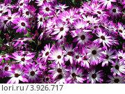 Фон из цветов диморфотека. Стоковое фото, фотограф Екатерина Рыбникова / Фотобанк Лори