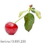 Купить «Вишня на ветке с листьями на белом фоне», фото № 3931233, снято 28 июня 2009 г. (c) Лисовская Наталья / Фотобанк Лори